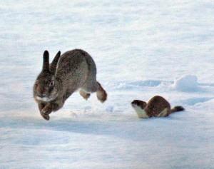 ermine-rabbit-chase-tundra-animals